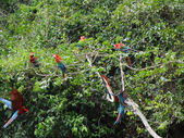 Green-winged macaw group — Stock Photo