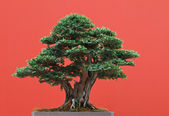 Yew bonsai — Stock Photo
