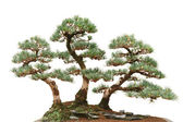 Three pine bonsai trees — Stock Photo