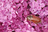 May-bug climbing on the violet lilac. — Stock Photo