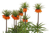 Fritillaria imperialis Rubra common name Crown Imperial — Stock Photo