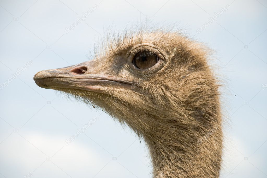 Portrait of ostrich on the nature  Stock Photo #8069541