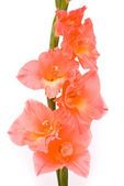 Beautiful Gladiolus on white background — Стоковое фото
