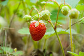 Ripening strawberry fruits on the branch — Foto de Stock