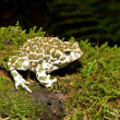 Bufo viridis. Green toad on nature background. — Stock Photo