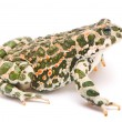 Bufo viridis. Green toad on white background. — Foto Stock