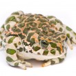 Bufo viridis. Green toad on white background. — Stock fotografie