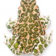 Bufo viridis. Green toad on white background. — Lizenzfreies Foto
