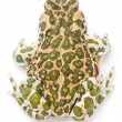 Bufo viridis. Green toad on white background. — Foto de Stock