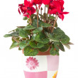 Red cyclamen flower in  pot — Stock Photo