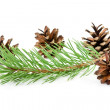 Cones and green pine branch — Stok fotoğraf