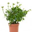 Stock Photo: House plant in pot