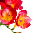 Red and yellow flowers of freesia — Stock Photo