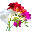 Multi-colored freesias — Stock Photo