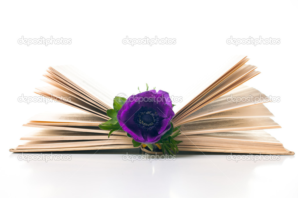 Purple anemone flower in an old book on white background — Stock Photo #9894496