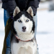 Stock Photo: Siberihusky dog