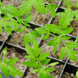 Young tomato seedlings — Stock Photo