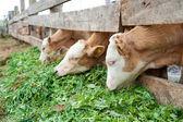 Calves eat grass — Stock Photo