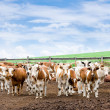 Herd of cows at farm - Stock Photo