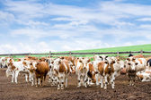 Herd of cows at farm — Stock Photo