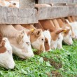 Calves eating green rich fodder — Stock Photo #8583316