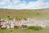 Flock of sheep and goats — Stock Photo
