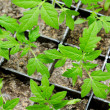 Tomato seedlings — Stock Photo