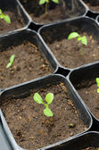 Small aubergine seedlings — Stock Photo