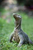 Wild varanus — Stock Photo
