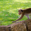 Attentive monkey — Stockfoto
