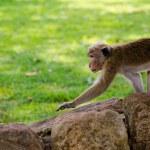 Attentive monkey — Stock Photo