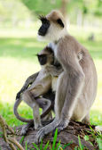 Macaco selvagem com bebê — Foto Stock