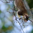 Giant squirrel — Stockfoto
