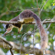 Giant squirrel — Stock Photo #9431014