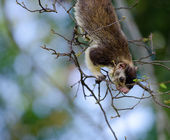 Giant squirrel — Stock Photo