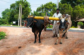 Traditional Sri Lankian yoke oxen wagon — Stock Photo