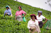 Laughing tea pickers — Stock Photo