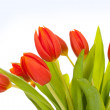Beautiful red tulips on white background — Stock Photo #9139282