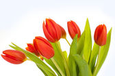 Beautiful red tulips on white background — Stock Photo