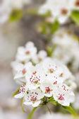 Blühender baum im frühjahr mit weißen blüten — Stockfoto
