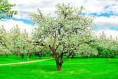Floral apple trees over blue sky in spring park — Stock Photo