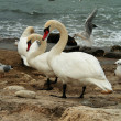 Stock Photo: White Swans On Rocks Near Ocean