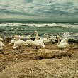 White Swans On Rocky Seashore - Stock Photo