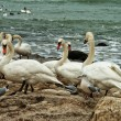 White Swans On Rocky Seashore — Photo
