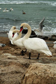 White Swans On Rocks Near Ocean — Stock Photo