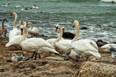 White Swans On Rocky Seashore — Stockfoto