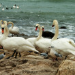 Stock Photo: White Swans On Rocky Seashore