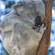 Koala sleeping in a tree — Stock Photo