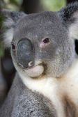 Koala portrait — Stock Photo