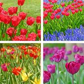 Tulip fields — Stock Photo